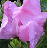 Sylter Rose