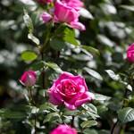 rosenfeines-herstellung-anbau-03
