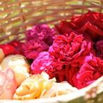 rosenfeines-herstellung-ernte-03